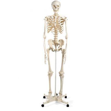 Скелет купить в интернет-магазине АЛВИМЕДИКА Украина