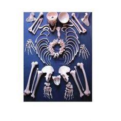 частини скелета купити у інтернет-магазині АЛВІМЕДИКА Украина