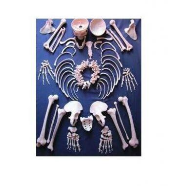 Части скелета купить в интернет-магазине АЛВИМЕДИКА Украина