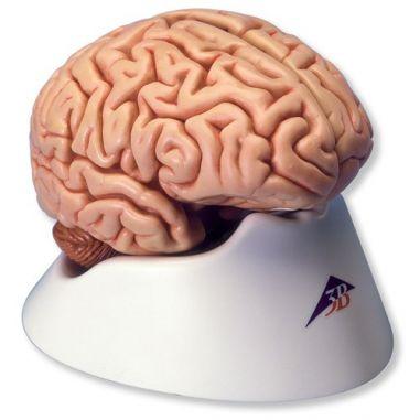 Головний мозок купити у інтернет-магазині АЛВІМЕДИКА Украина